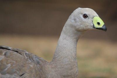 Cape Barren goose with bright bill