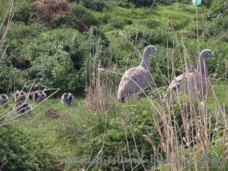 Cape Barren goose family