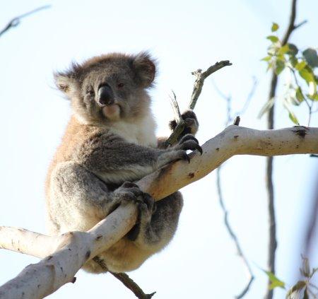Koala at Koala Conservation Reserve, Phillip Island