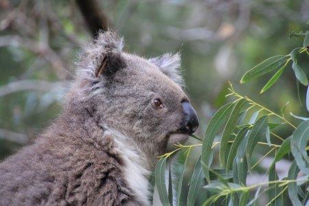 Koala eating eucalypt leaves
