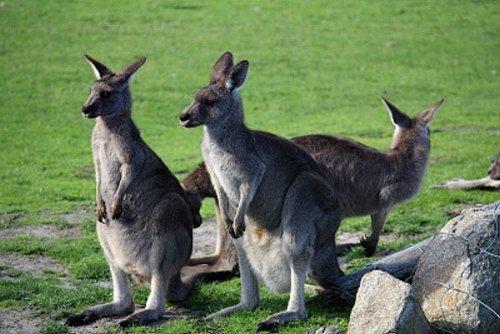 Pat the kangaroos at Maru Animal Park