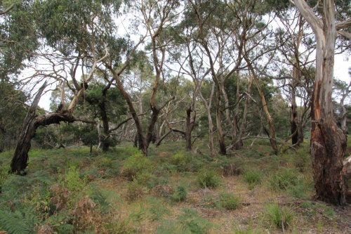 Woodland at Oswin Roberts Reserve, Phillip Island