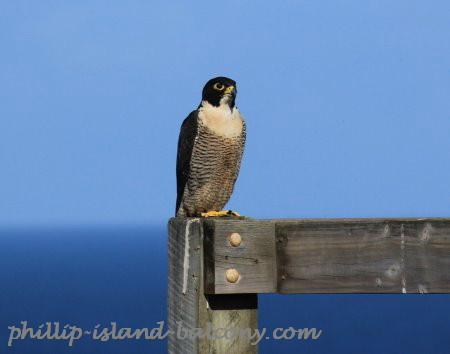 Peregrine falcon at Summerlands