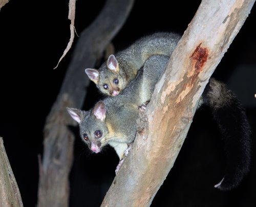Brushtail possum with baby in tree