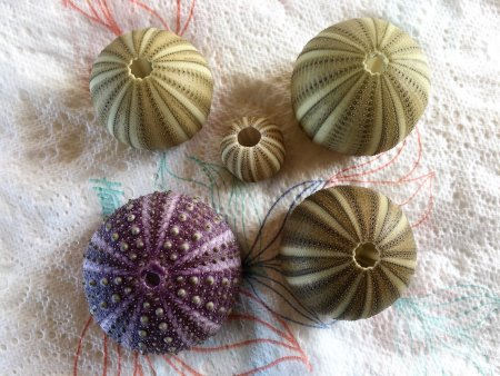 Drying sea urchins on paper towel in the shade