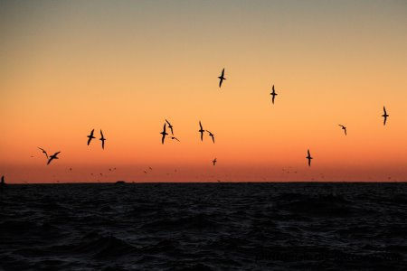 Short-tailed shearwaters massing out to sea before returning to their rookery on Cape Woolamai, Phillip Island