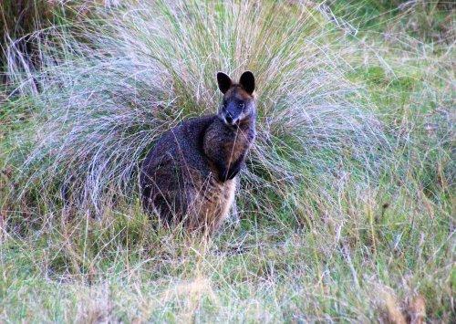 Swamp wallaby on Phillip Island, Australia
