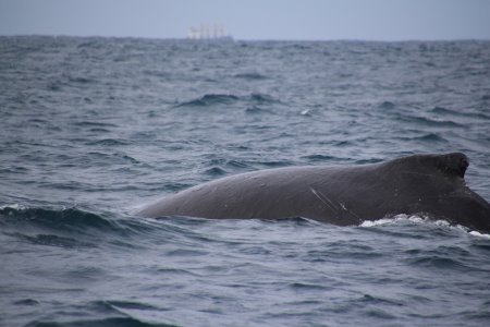 Humpback whale off Phillip Island south coast